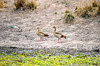 Egyptian geese. Afternoon game drive out of Kuyenda Bush Camp.