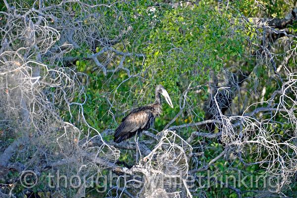 African open-billed stork.