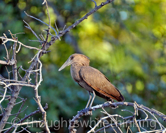 Hamerkop heron. This bird builds a large, globe-shapped nest in a sturdy river-side tree to which it adds material year after year. It becomes so huge that other birds establish apartments in it. Zambezi River tour from Toka Leya Camp.
