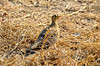 Black-faced sandgrouse. Morning game drive out of Kuyenda Bush Camp.
