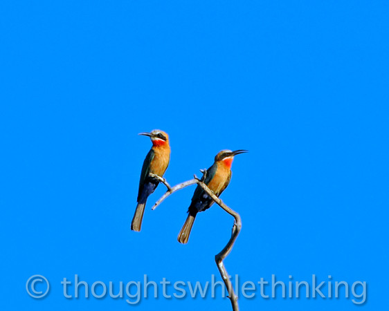 Two whitefronted bee-eaters on the Zambezi River.