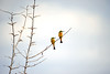 Two Little bee-eaters. Morning game drive out of Kuyenda Bush Camp.