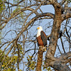 African fish eagle seen on a walking Safari led by Phil Berry out of Kuyenda Bush Camp.
