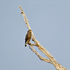 Steppe buzzard ??