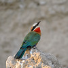Whitefronted bee-eater.