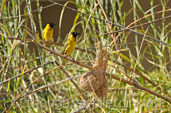 Village weaver nesting in the open crocodile pond and courtyard at Southern Sun Ridgeway Hotel in Lusaka. Photographed while we were enjoying breakfast.
