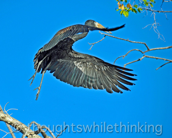 African open-billed stork becoming airborn.