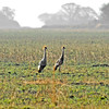 Two gray-crowned cranes. Morning game drive from Busanga Bush Camp.