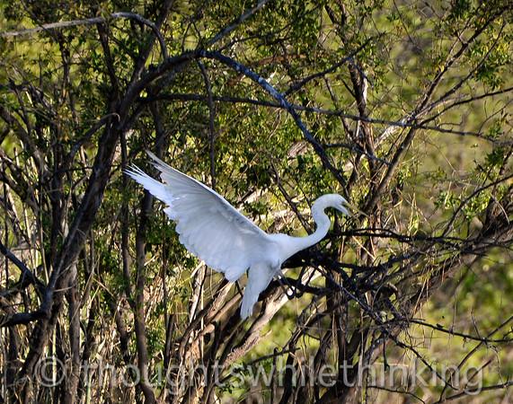 Great white egret, landing.