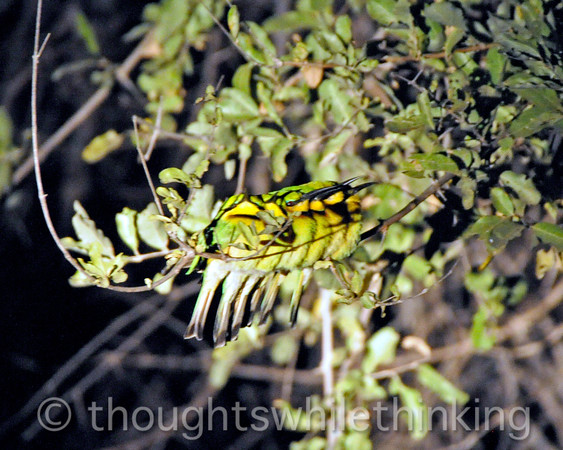 Six Little bee-eaters all in a row. Night drive out of Kuyenda Bush Camp.