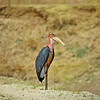 Marabou stork. Morning game drive out of Kuyenda Bush Camp.