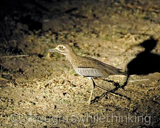 Water thick-knee with a scorpion spotted on a night drive out of Kuyenda Bush Camp.