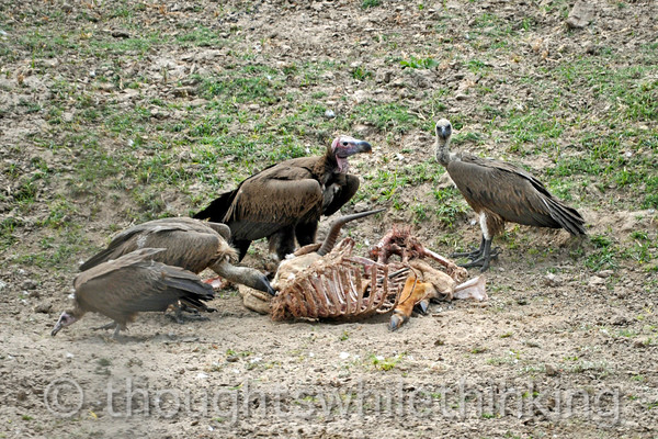 Vultures cleaning up the left-overs.