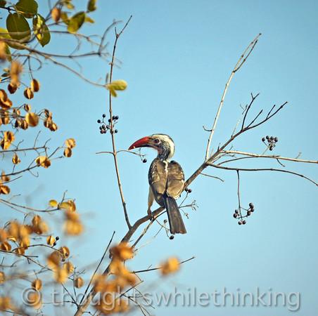 Redbilled hornbill, the smallest hornbill in Africa.