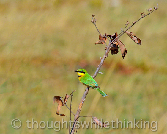 Little bee-eater. Game drive from Busanga Bush Camp.