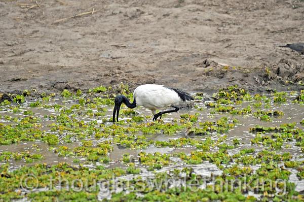 Sacred ibis.