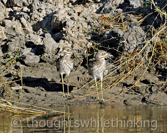 Water thick-knee along the Zambezi River.
