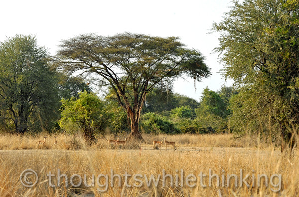 Acacia tree with impala and some damage by elephants.