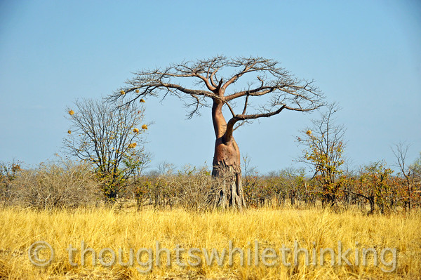 Baobab with weaver bird nests. The trunk can grow to 32 feet in diameter.