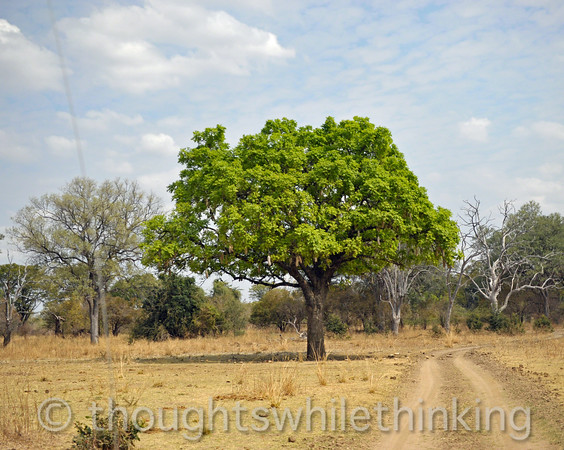 Sausage tree along the way from Kuyenda Bush Camp to Kapanba Bush Camp.
