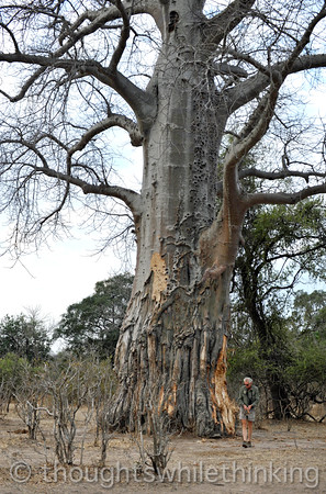A bigger Baobab. Phil Berry in the foreground.