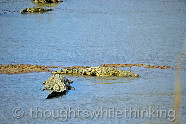 Crocodiles on the Manzi River spotted during a walking safari led by Phil Berry out of Kuyenda Bush Camp.