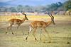 Male impala.