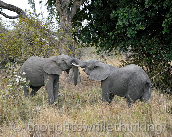 Adolescent male elephants in mock/practice skirmish.