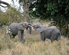 Adolescent male elephants in mock/practice skirmish.