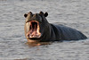 Hippo in the Kafue River; afternoon game drive out of Busanga Bush Camp.