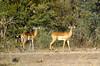 Two male impala.