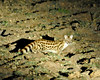 Large spotted or blotched genet seen on a night drive out of Kuyenda Bush Cmap.