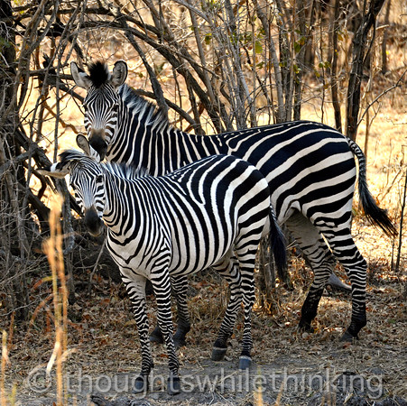 Adult and immature zebras found during a game drive led by Phil Berry out of Kuyenda Bush Camp. Difficult to photograph, as zebras give you one look and then quickly turn away, often running off into the bush.