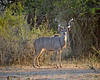 Male kudu found on a game drive out of Mfuwe Lodge.