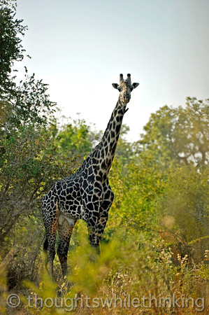 Another nearby giraff. Note the oxpecker bird high up on the animal's neck eating ticks and other skin parasites.
