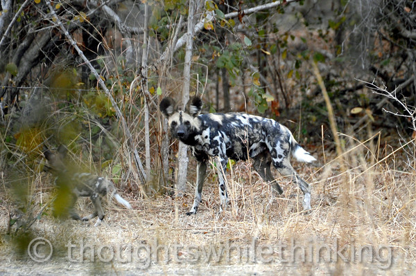 Adult wild dog and pup.