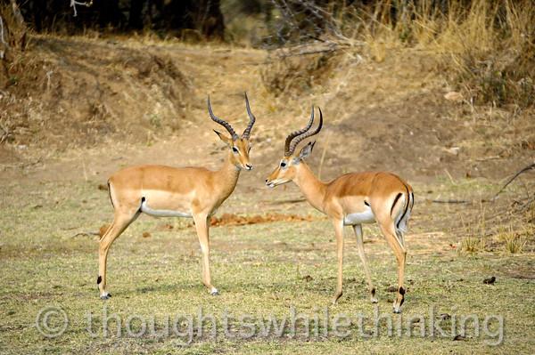 More impala.