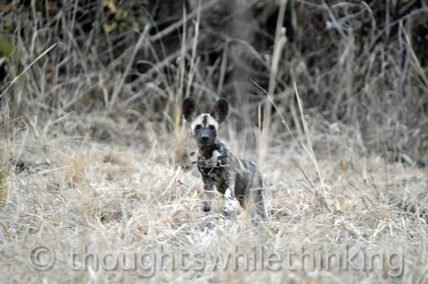 Wild dog pup.