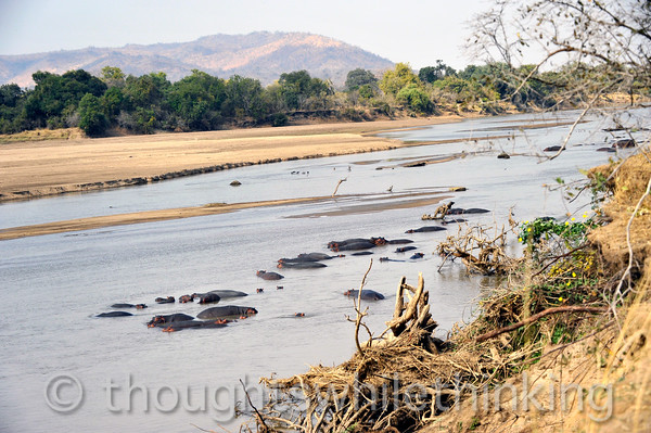 Hippos on the Manzi River spotted during a walking safari led by Phil Berry out of Kuyenda Bush Camp.