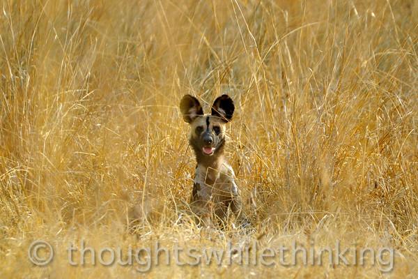 Adult wild dog.