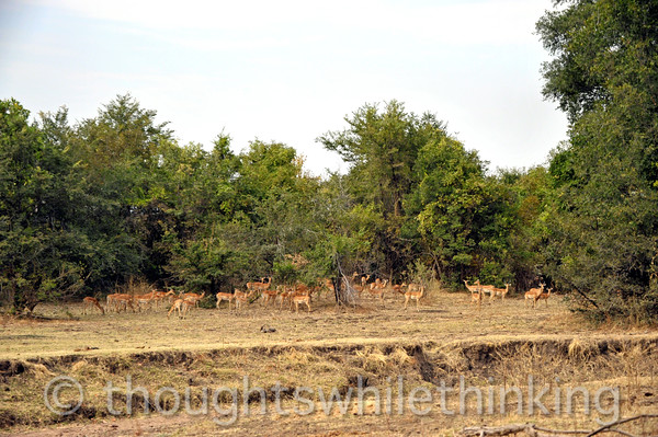 A large herd of impala about to race off into the woods during a morning game drive from Kuyenda Bush Camp.