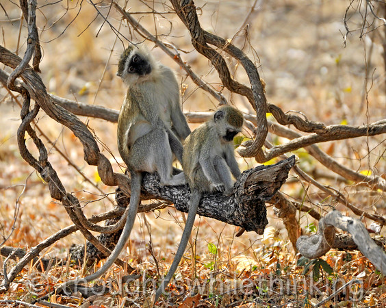 Vervet monkeys.