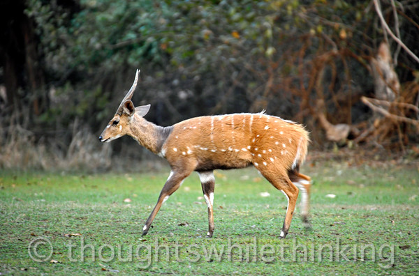 Bushbuck on the grounds of Mfuew Lodge.