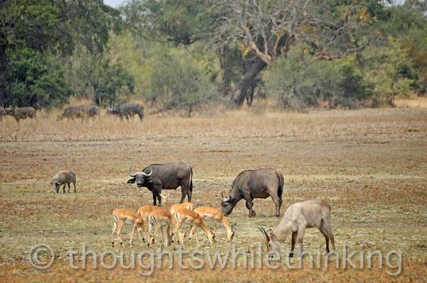 Savanna scene, not much grass. Warthog, impala, Cape buffalo, waterbuck.