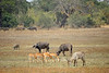 Savanna scene, not much grass. Warthog, impala, Cape buffalo, waterbuck.