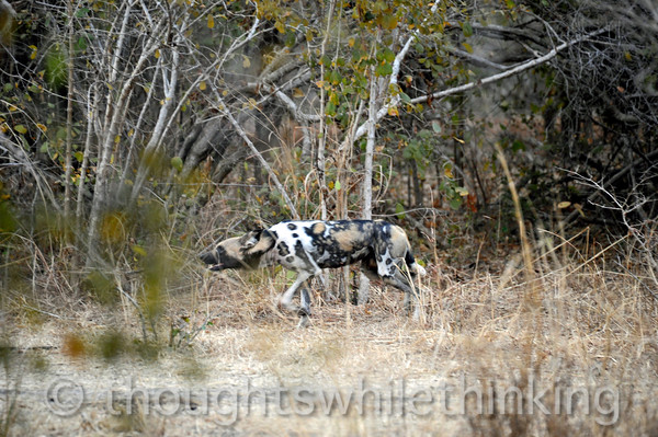 Adult wild dog, a member of a pack in the Kuyenda Bush Camp area.