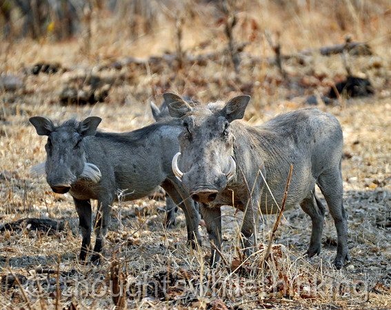 Immature and adult warthogs. The white hairs on the youngster may fool some predators into thinking they are the razor-sharp tusks of mature warthogs.