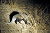 White-tailed mongoose, solitary and mainly nocturnal, on the hunt during a night drive out of Kuyenda Bush Camp.