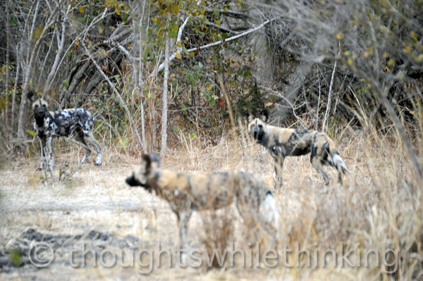 More adult wild dogs.