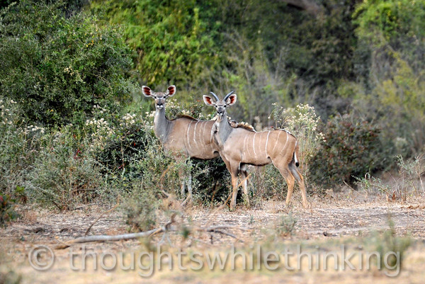 Two more female kudus, on an afternoon game drive out of Kuyenda Bush Camp.